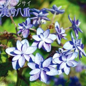 ホスタ(ギボウシ) ブルーカデット 10.5cmポット苗|produce87