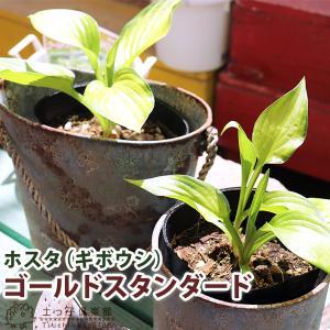 ホスタ(ギボウシ) ゴールドスタンダード 10.5cmポット苗|produce87