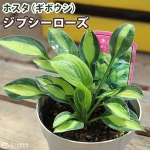 ホスタ(ギボウシ) ジプシーローズ 10.5cmポット苗|produce87