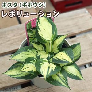 ホスタ(ギボウシ) レボリューション 10.5cmポット苗|produce87