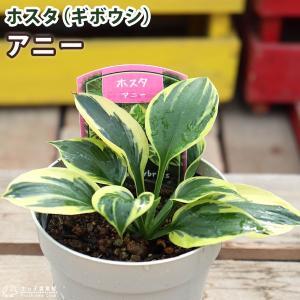 ホスタ(ギボウシ) アニー 10.5cmポット苗|produce87