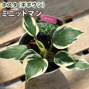 ホスタ(ギボウシ) ミニットマン 10.5cmポット苗|produce87