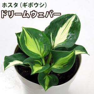 ホスタ(ギボウシ) ドリームウェバー 10.5cmポット苗(ドリームウェーバー)|produce87