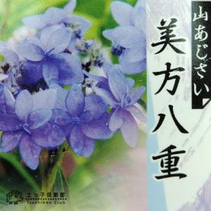ヤマアジサイ 『 美方八重 』 9cmポット苗|produce87