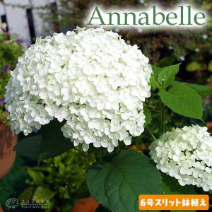 アジサイ 『 アナベル 』 白 6号スリット鉢植え 苗木|produce87