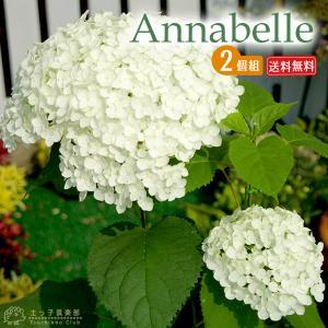 アジサイ アナベル ( 白 ) 2個セット 送料無料 10.5cmポット苗|produce87