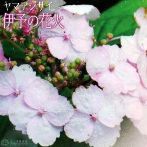 ヤマアジサイ 『 伊予の花火 』 9cmポット苗|produce87