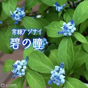 常緑アジサイ 『 碧の瞳 ( アオノヒトミ ) 』9cmポット苗 珍種|produce87