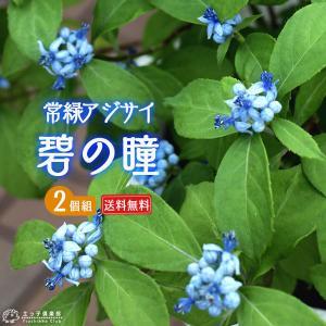 常緑アジサイ 『 碧の瞳 ( アオノヒトミ ) 』 2個セット ( 送料無料 ) 9cmポット苗 珍種|produce87