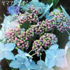ヤマアジサイ 『 王冠 』 9cmポット苗|produce87