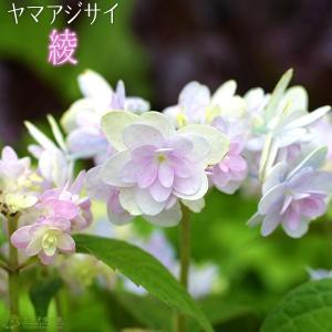 ヤマアジサイ 『 綾 』 9cmポット苗|produce87