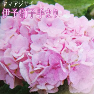 ヤマアジサイ 『 伊予獅子手まり 』 9cmポット苗 produce87