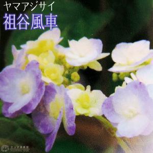 ヤマアジサイ 『 祖谷風車 』 9cmポット苗 produce87