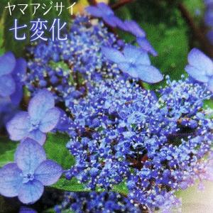 ヤマアジサイ 『 七変化 』 9cmポット苗|produce87