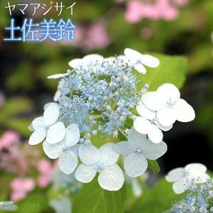 ヤマアジサイ 『 土佐美鈴 』 9cmポット苗|produce87