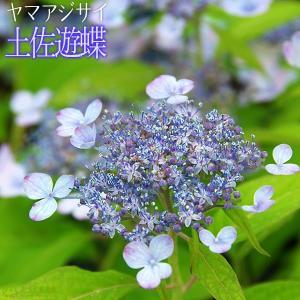 ヤマアジサイ 『 土佐遊蝶 』 9cmポット苗|produce87