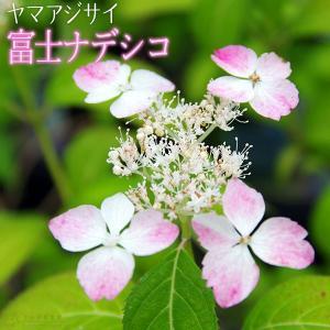 ヤマアジサイ 『 富士ナデシコ 』 9cmポット苗|produce87