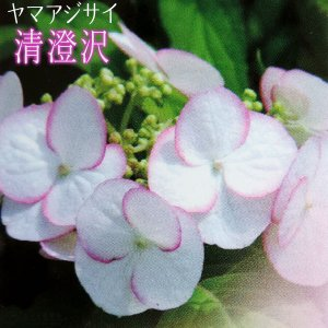 ヤマアジサイ 『 清澄沢 』 9cmポット苗|produce87