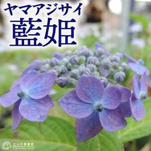 ヤマアジサイ 『 藍姫 』 9cmポット苗|produce87
