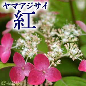 ヤマアジサイ 『 紅 』 9cmポット苗|produce87