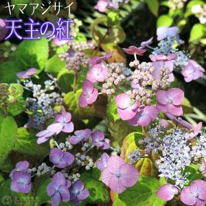ヤマアジサイ 『 天主の紅 』 9cmポット苗|produce87