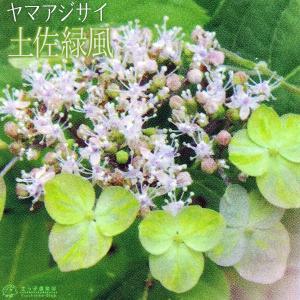 ヤマアジサイ 『 土佐緑風 』 9cmポット苗|produce87