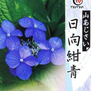 ヤマアジサイ 『 日向紺青 』 9cmポット苗|produce87