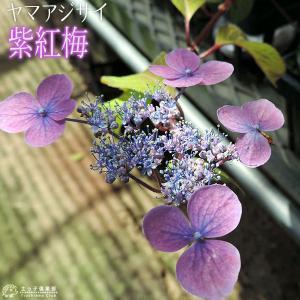ヤマアジサイ 『 紫紅梅 』 9cmポット苗|produce87
