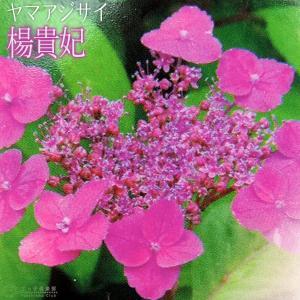 ヤマアジサイ 『 楊貴妃 』 9cmポット苗|produce87