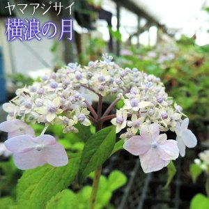 ヤマアジサイ 『 横浪の月 』 9cmポット苗|produce87
