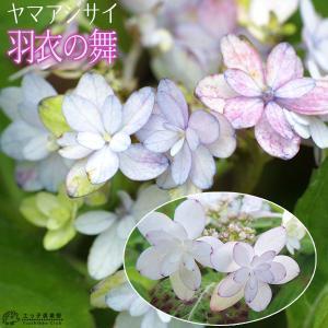 ヤマアジサイ 『 羽衣の舞 』 9cmポット苗|produce87