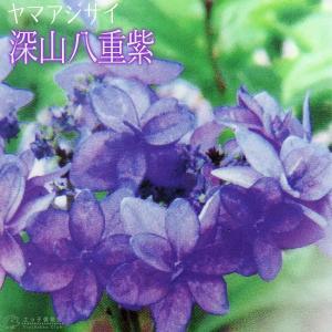 ヤマアジサイ 『 深山八重紫 』 9cmポット苗|produce87