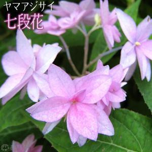 ヤマアジサイ 『 七段花 』 9cmポット苗|produce87