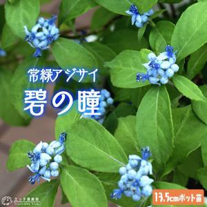 常緑アジサイ 『 碧の瞳 ( アオノヒトミ ) 』 13.5cmポット苗 珍種 ≪ 花芽付き ≫|produce87