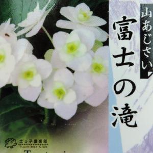 ヤマアジサイ 『 富士の滝 』 9cmポット苗|produce87