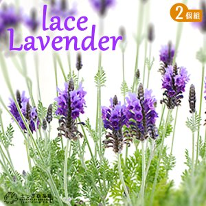 レースラベンダー ( 四季咲き性 ) 2個セット|produce87
