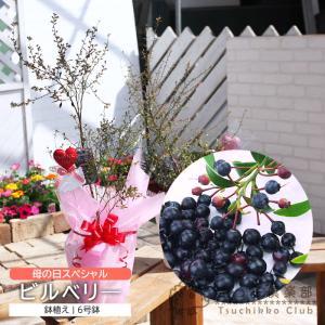 ( 母の日のプレゼント )健康果樹の『鉢植えビルベリー』 6号鉢植え ( 送料無料 )( 早期予約特典!! ポイント10倍♪ 4/30まで )|produce87