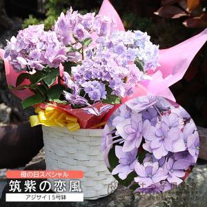 ( 母の日のプレゼント )福岡のアジサイ『 筑紫の恋風 』 5号鉢カゴ入り ( 送料無料 )( 早期予約特典!! ポイント10倍♪ 4/30まで )|produce87