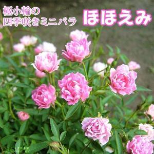 四季咲きミニバラ 『 ほほえみ 』 12cmポット苗|produce87