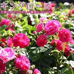 ツルバラ 『 キングローズ 』 9cmポット苗|produce87