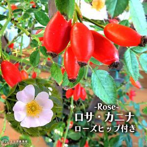 ( 実付き ) ロサ・カニナ 『 ドッグローズ 』 ( ローズヒップ ) 6号鉢植え ( 原種系 )|produce87