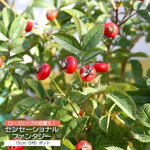 ローズヒップ 『 センセーショナルファンタジー 』 5号鉢植え 実付き|produce87