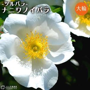 バラ 『 ナニワノイバラ 』 12cmポット苗 (ツルバラ)|produce87