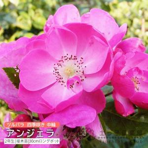 ツルバラ 中輪 『 アンジェラ 』 2年生接 ぎ木苗 (クライミングローズ) 四季咲|produce87
