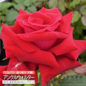 ツルバラ 大輪 『 アンクルウォルター 』 2年生接 ぎ木苗 (クライミングローズ) 返り咲|produce87