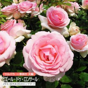 ツルバラ 大輪 『 ピエール・ドゥ・ロンサール 』 2年生接 ぎ木苗 (クライミングローズ) 世界殿堂入り薔薇|produce87