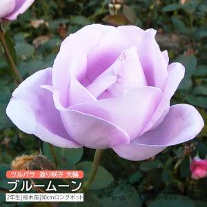 ツルバラ 大輪 『 ブルームーン 』 2年生接 ぎ木苗 (クライミングローズ) 返り咲|produce87
