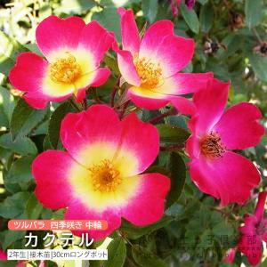 ツルバラ 中輪 『 カクテル (コクテール) 』 2年生接 ぎ木苗 (クライミングローズ) 四季咲|produce87