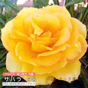 ツルバラ 大輪 『 サハラ '98 』 2年生接 ぎ木苗 (クライミングローズ) 返り咲|produce87
