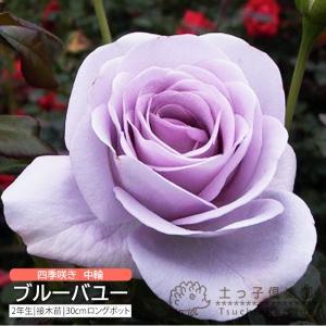 四季咲き中輪 『 ブルーバユー 』 2年生接 ぎ木苗 (フロリバンダローズ)|produce87
